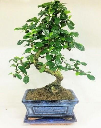S Bonsai japon ağacı bitkisi  Bebek doğum hediyeleri