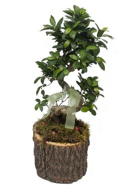 Doğal kütükte bonsai saksı bitkisi  anneye hediye babaya hediye