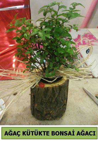 Doğal ağaç kütük içerisinde bonsai ağacı  sevgiliye hediye arkadaşa hediye