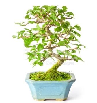 S zerkova bonsai kısa süreliğine  anneye hediye babaya hediye